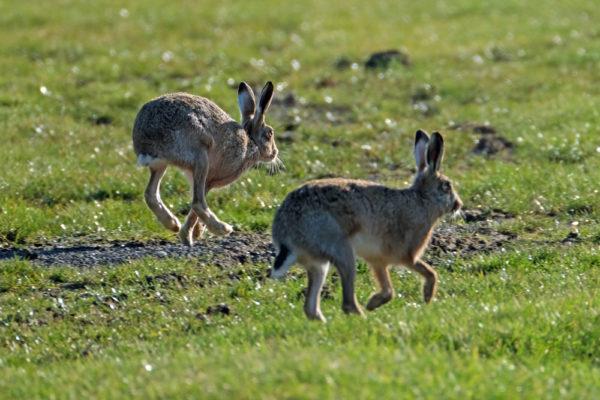 Hare close encounter 28th February 2021 5 five star f ws
