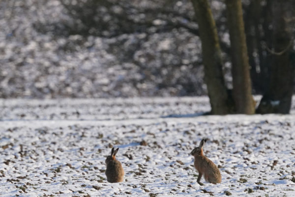 Hares 11th February 2021 snow b ws