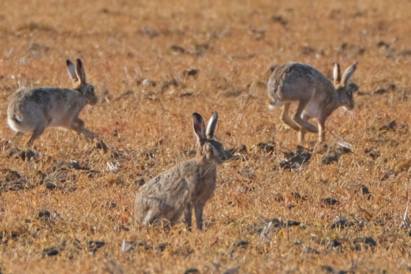 Hares 27th March 4 four star ws